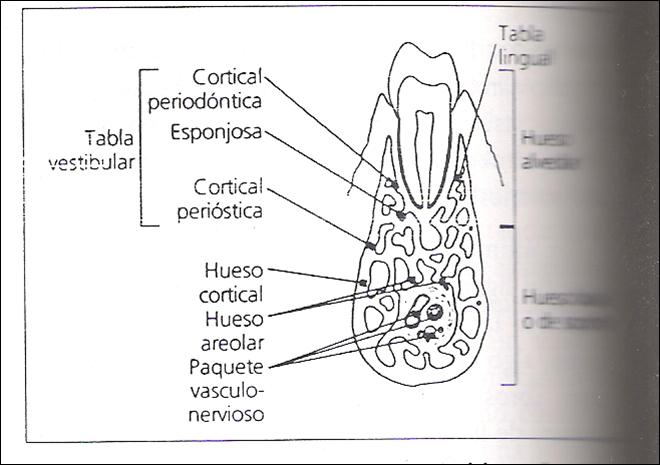 Periodoncia: HUESO ALVEOLAR