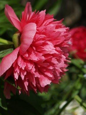 Paeonia officinalis - bondepeon