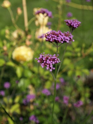 Verbena bonariensis - kjempeverbena