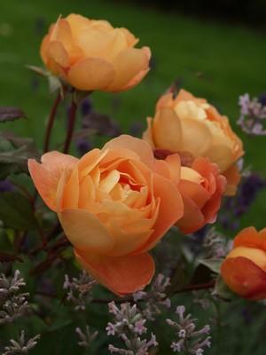 Rosa 'Lady Emma Hamilton' - austinrose