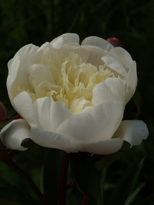 Paeonia lactiflora - silkepeon