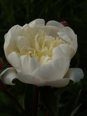 Paeonia lactiflora - silkepeon