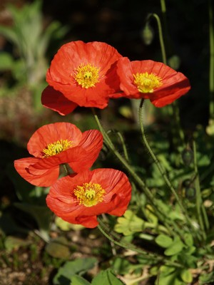 Papaver nudicaule - sibirvalmue