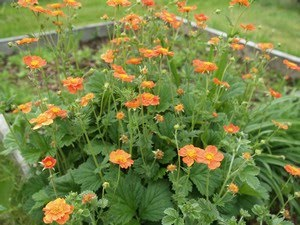 Geum coccineum - humleblomst