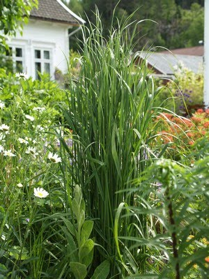 Calamagrostis acutiflora &#39;Karl Foerster&#39; - hagerrkvein
