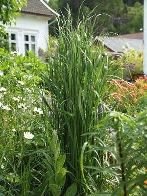 Calamagrostis acutiflora 'Karl Foerster' - hagerørkvein