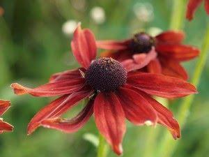 """Rudbeckia - gul solhatt (i dette tilfellet en rød """"gul solhatt"""")"""
