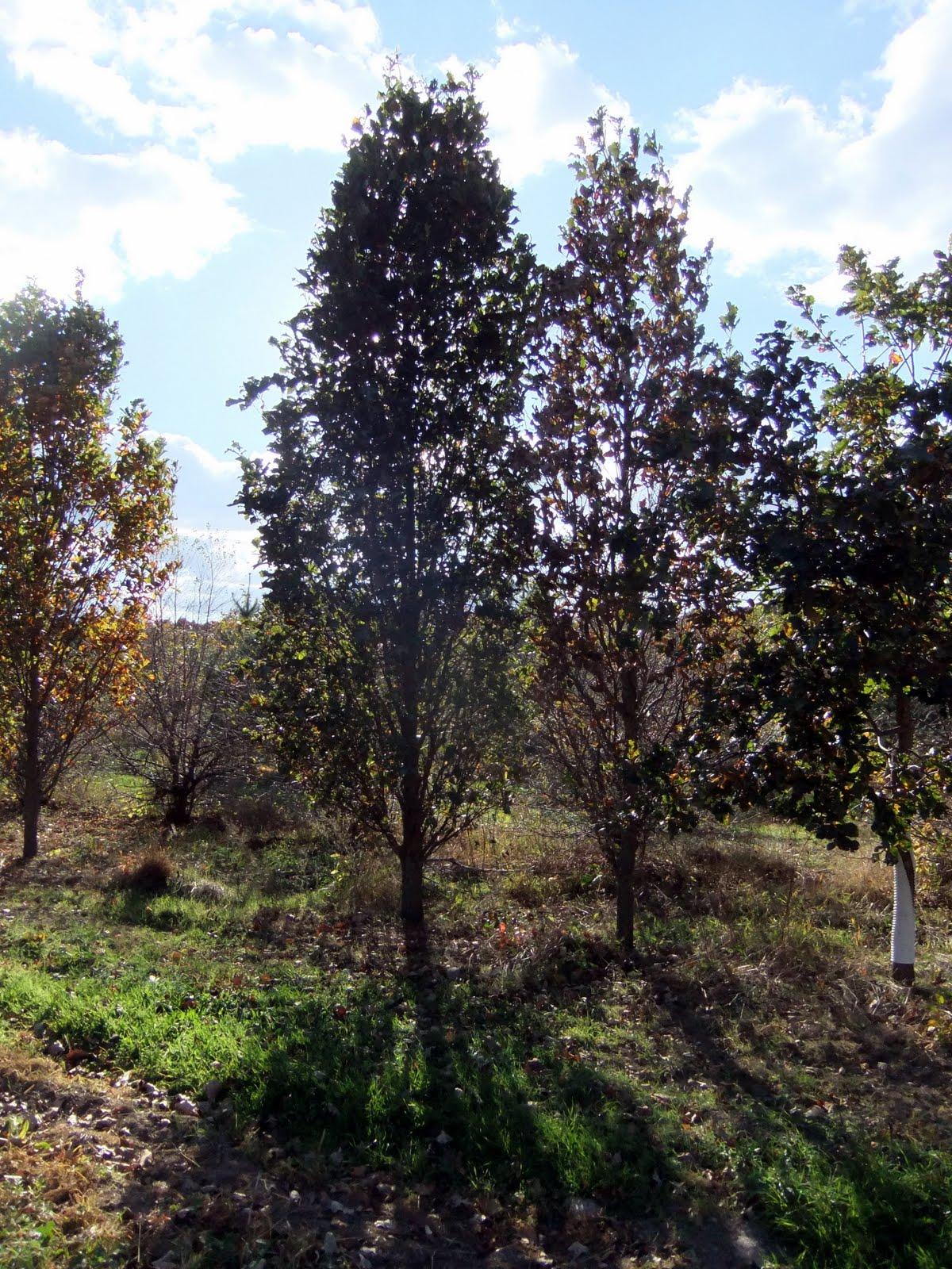 Islandscapes specimen tree shopping for Specimen trees