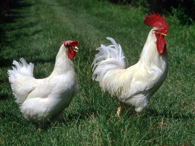 ☻Puntadas de cuento☺: Gallo y gallina