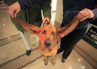 Cachorro orelha gigante