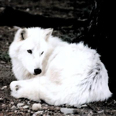 Gambar Binatang Serigala
