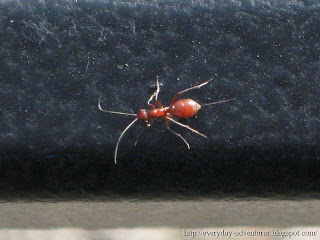 red wingless wasp