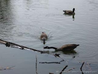 Honking Geese