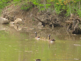 goose family, geese and goslings