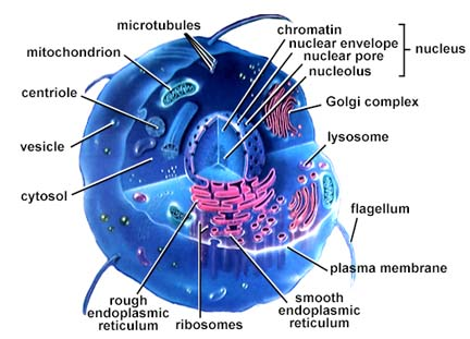 The lysosome is labeled all living parts of cell. The labeled animal
