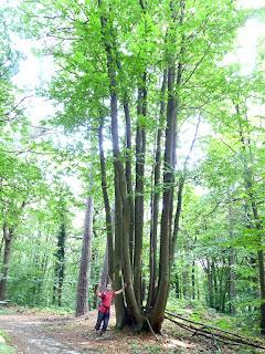 ヒュードラみたいな木