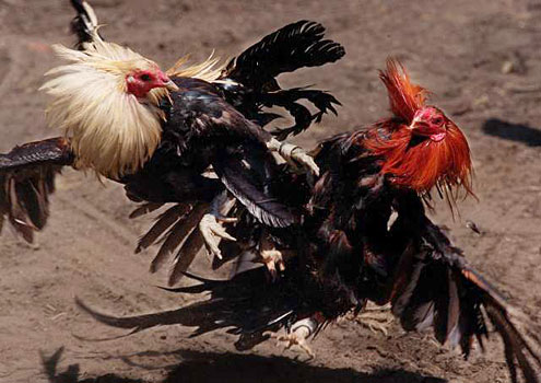 COCKFIGHTING: A blood sport for roosters Xingyi+fighting+roosters