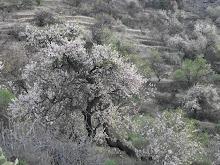 Almendreros en flor. Santiago del Teide