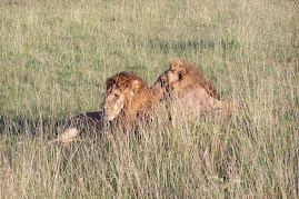 Favorite Mara Lions