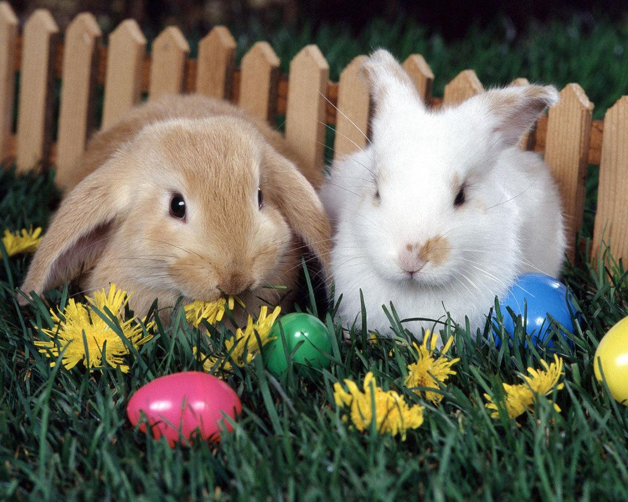 http://4.bp.blogspot.com/_h0GJRWHUFZw/TS9ksGK6SQI/AAAAAAAABIA/4k9pODXDvtg/s1600/2-Rabbits-bunny-rabbits-4233951-1280-1024.jpg