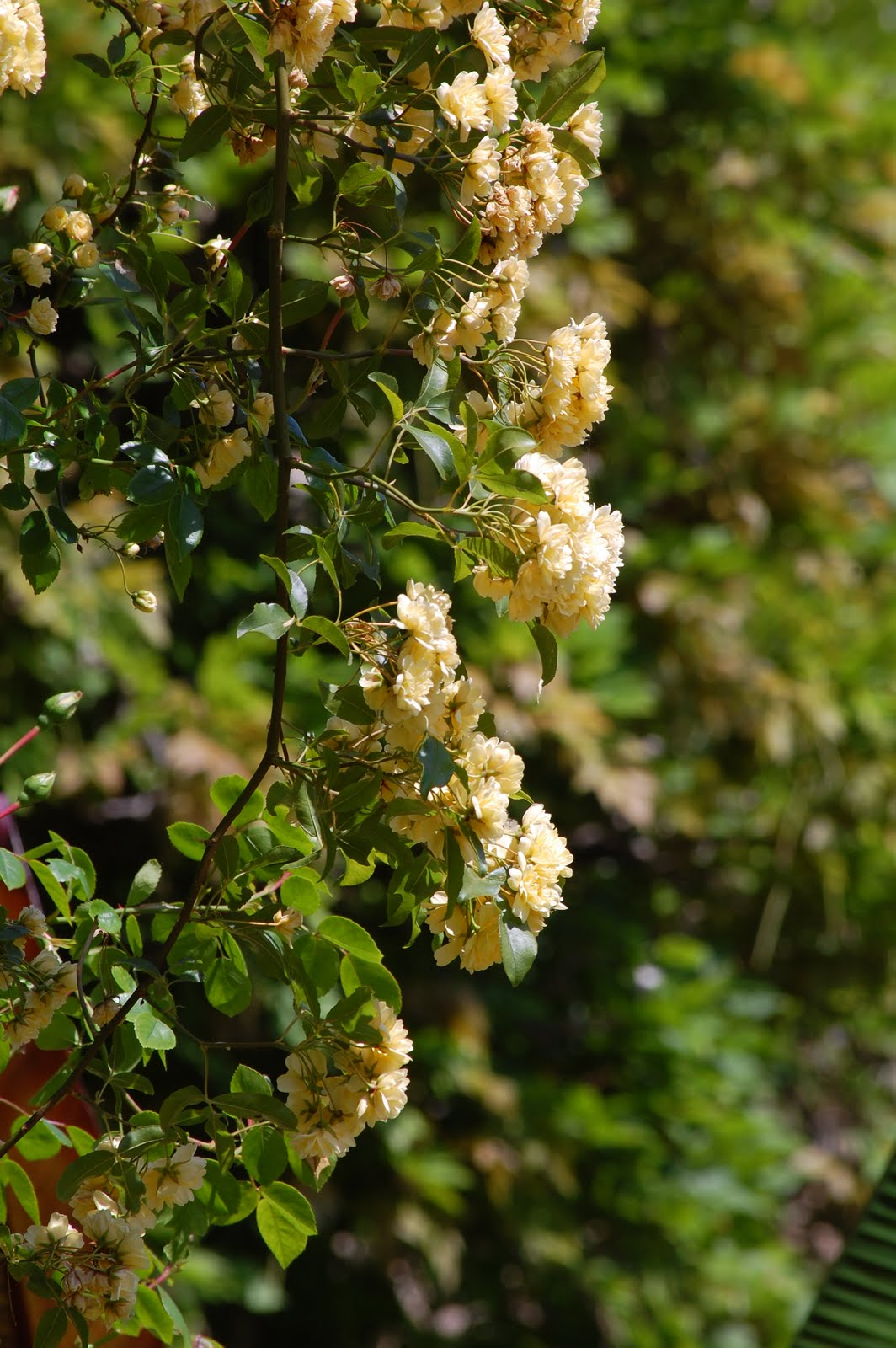 In The Blog For 24th February Rosa Banksiae Lutea I Mentioned That Unlike Many Other Roses This Rose Was Pruned After Flowering And Pruning