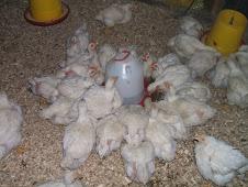 Pollos de 4 semanas