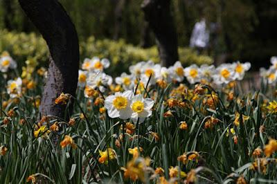 スイセン,Narcissus,水仙まつり,なばなの里