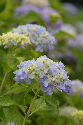 紫陽花(Hydrangea),あじさい・花しょうぶまつり,なばなの里