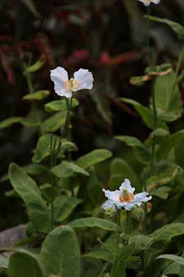 ヒマラヤの青いケシ,メコノプシス(Meconopsis),なばなの里