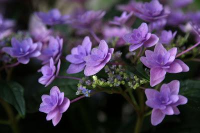 ガクアジサイ(Hydrangea macrophylla),蒲郡あじさいの里