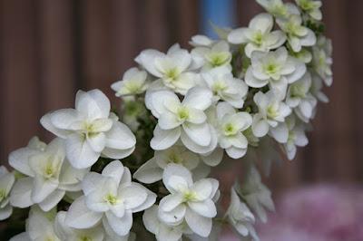 カシワバアジサイ(Hydrangea quereifolia),スノーフレーク,蒲郡あじさいの里