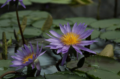 掛川花鳥園のスイレン