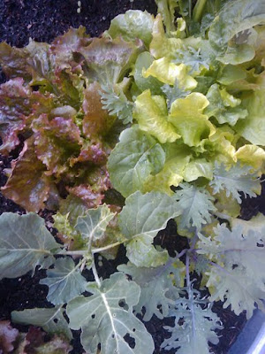 Salad plants at Centennial Court