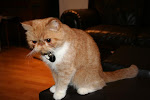 Tonic - Exotic Shorthair