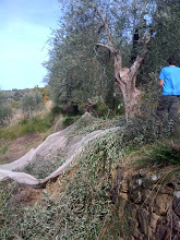 Difficult netting on the ancient terraces