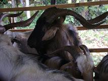 Harga kambing Feral