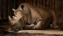 Sleeping Rhino Durmiente