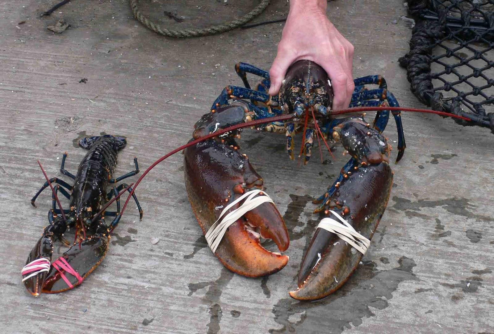 http://4.bp.blogspot.com/_h8PF1bPChlI/TGv1B4eHDGI/AAAAAAAAAy4/76OaqNiTDu8/s1600/king-lobster-2.jpg