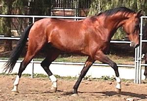 Gam Akhal-Teke Stallion at stud.