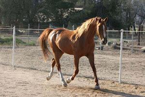 Sparkling Sky Nat'l. Ch.endurance horse