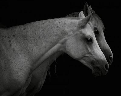 gambar kuda, foto binatang kuda, gagah
