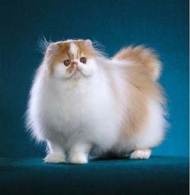 10 ras kucing paling populer di dunia