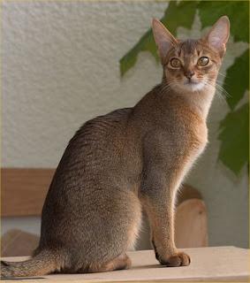 http://4.bp.blogspot.com/_h97zEan_PLI/TLPLBDqUREI/AAAAAAAAA8E/RJbJO3U008A/s1600/abyssinian-cat.jpg
