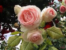 Rosas con nombre de poeta: Pierre Ronsard