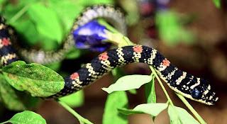 Indian Flying Snake