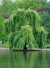 The Salix Path : salix = latin for the willow