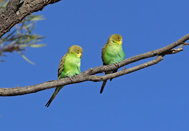 #8 Budgerigar Wallpaper