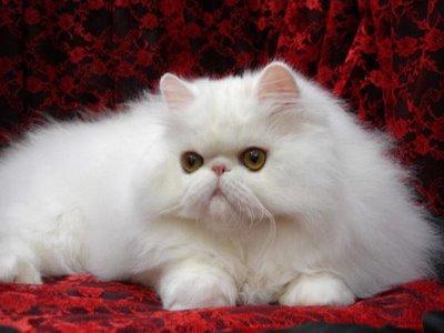 Koleksi Kucing Persia yang Imut, Cut dan Lucu di Dunia