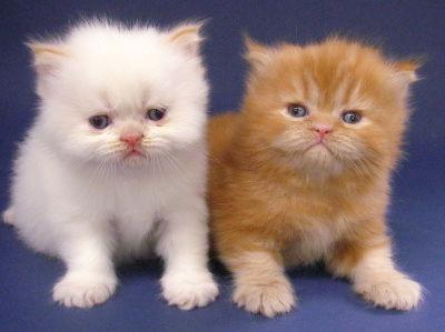 ... AND AMAZING: Koleksi Kucing Persia yang Imut, Cut d