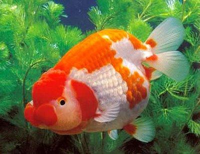 goldfish wallpaper. goldfish lets celebrate